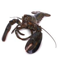 春播活水产美国活龙虾(450-650g)1只装