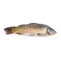 黄河鲤物原条大鲤鱼