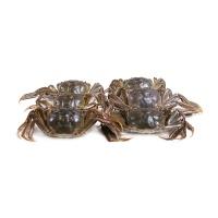 2017春播固城湖大闸蟹礼盒D(公蟹3.3-3.6两/只、母蟹2.6-2.9两/只)各4只